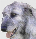 Rory the Irish Wolfhound at Irish Shopper